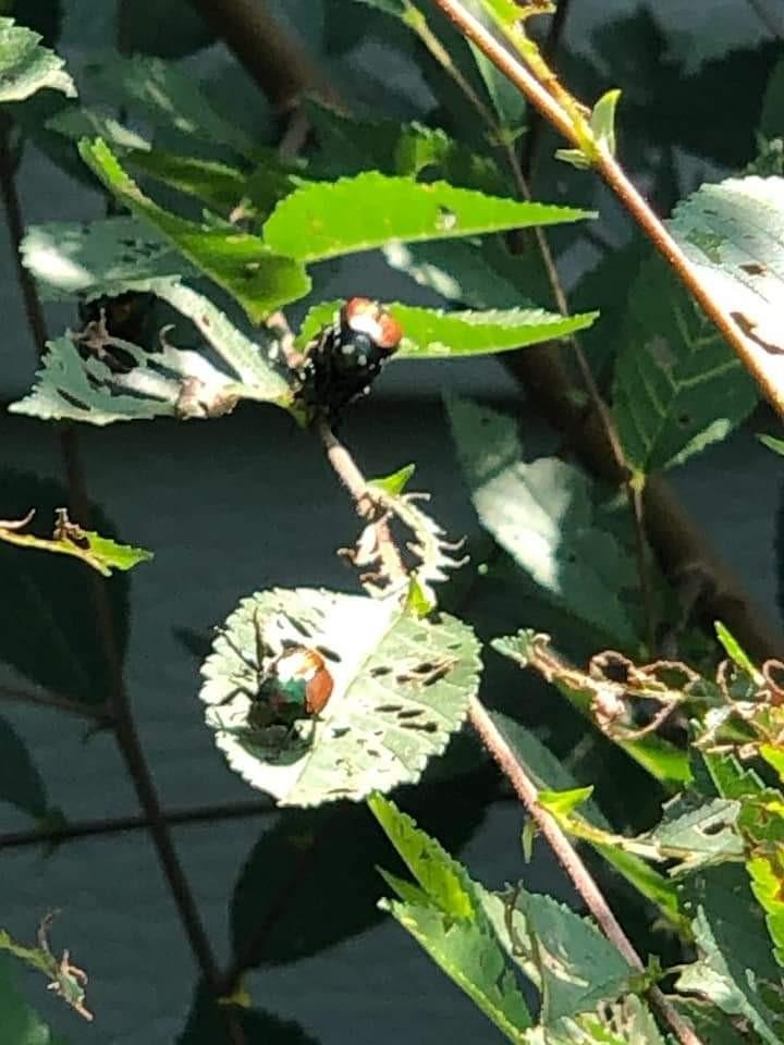 jap beetle picture